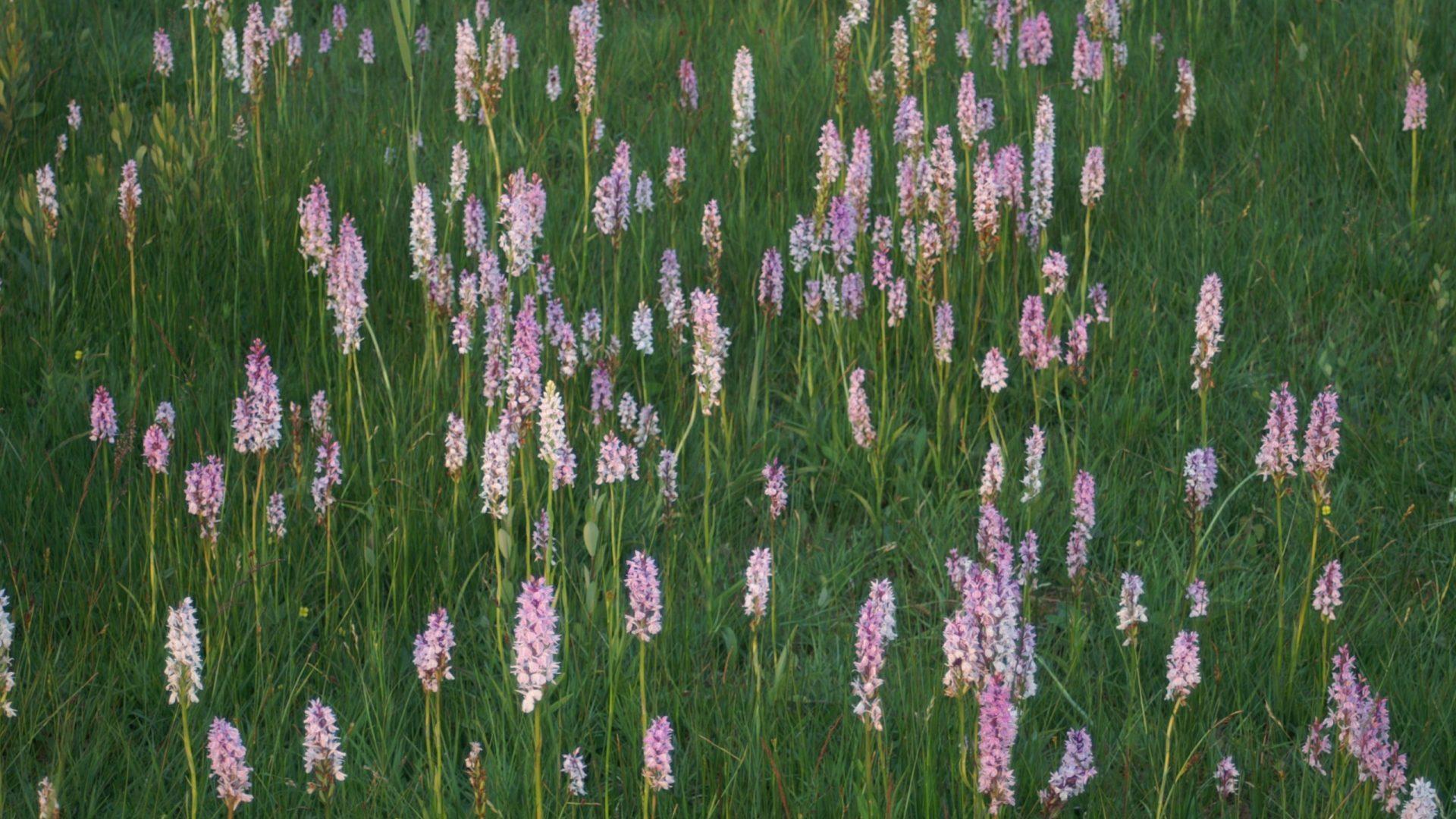 Orchideeën bloemrijk grasland