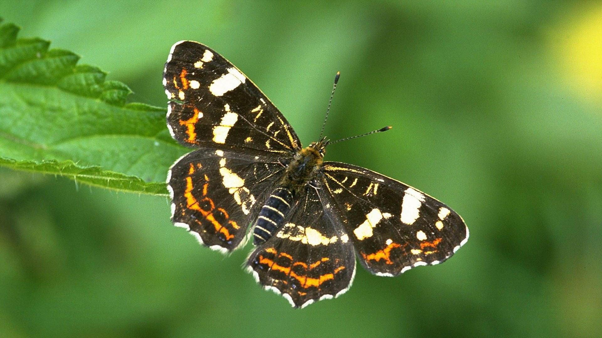 Landkaartje dagvlinder