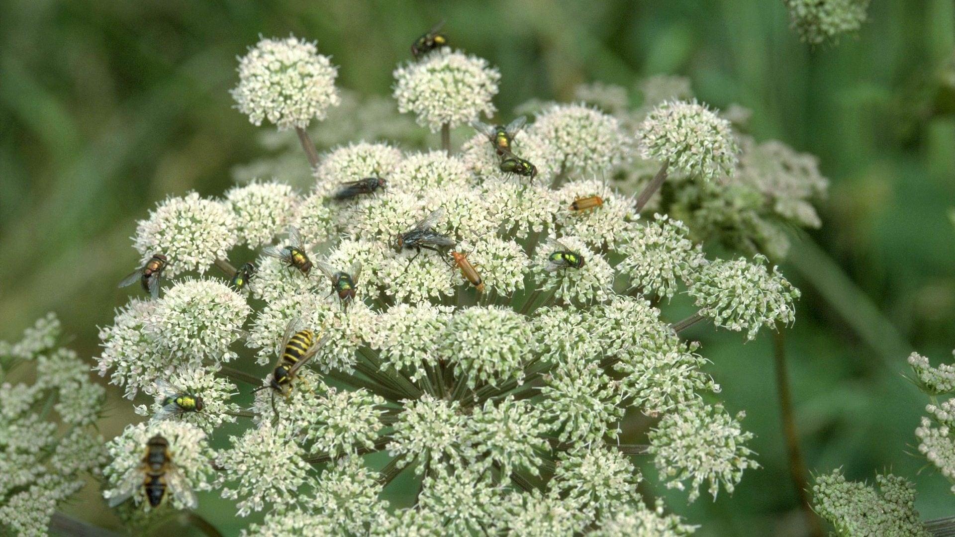 insecten op gewone berenklauw